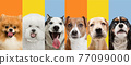 Art collage made of funny dogs different breeds on multicolored studio background. 77099000