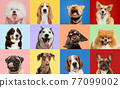 Art collage made of funny dogs different breeds on multicolored studio background. 77099002