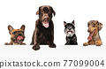 Art collage made of funny dogs different breeds posing isolated over white studio background. 77099004