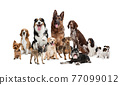 Art collage made of funny dogs different breeds posing isolated over white studio background. 77099012