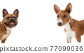 Art collage made of funny dogs different breeds posing isolated over white studio background. 77099036
