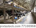 奶牛 牲口 牛 77100968
