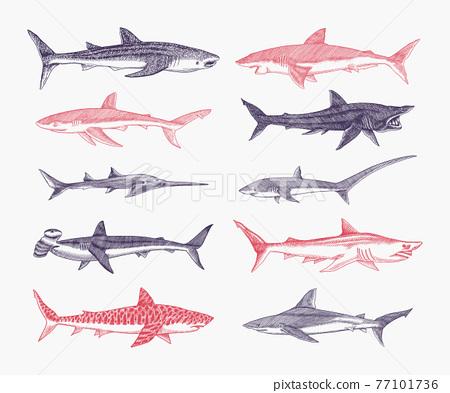 Sharks set.Great white shark, Sixgill sawshark. Basking Sand Tiger Hammerhead Thresher Atlantic Bull 77101736