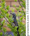 野生鳥類 野鳥 小鳥 77103600