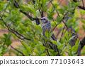 野生鳥類 野鳥 小鳥 77103643