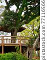 樹木 樹 木頭 77116566