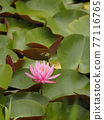 睡蓮 花朵 花 77116765