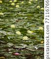 睡蓮 花朵 花 77116766