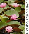 睡蓮 花朵 花 77116767