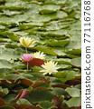 睡蓮 花朵 花 77116768