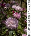 杜鵑花 花朵 花 77117468