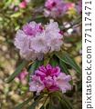 杜鵑花 花朵 花 77117471
