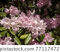 杜鵑花 花朵 花 77117472