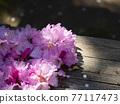 杜鵑花 花朵 花 77117473