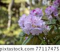 杜鵑花 花朵 花 77117475