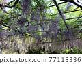 紫藤花 77118336