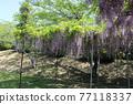 紫藤花 77118337