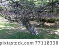 紫藤花 77118338