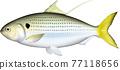 魚 矢量 壽司魚片 77118656