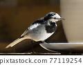 野生鳥類 野鳥 鳥兒 77119254