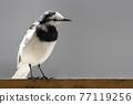 野生鳥類 野鳥 鳥兒 77119256