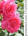 玫瑰(Yoshizumi) 77120320