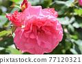 玫瑰(Yoshizumi) 77120321