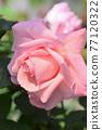 玫瑰(新娘粉紅色) 77120322