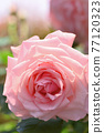 玫瑰(新娘粉紅色) 77120323