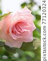 玫瑰(新娘粉紅色) 77120324