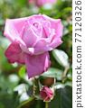 玫瑰(藍河) 77120326