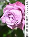 玫瑰(藍河) 77120327