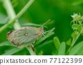 butterfly, butterflies, bug 77122399