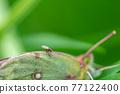 butterfly, butterflies, bug 77122400