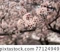 櫻花盛開 77124949