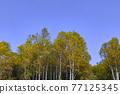 단풍 된 자작 나무 77125345