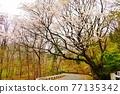 tanzawa, sakura, spring 77135342
