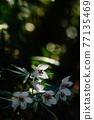 Setsubun herb flower 77135469