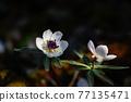Setsubun herb flower 77135471