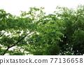 느티나무 77136658