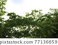 느티나무 77136659