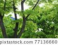 느티나무 77136660