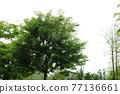 느티나무 77136661