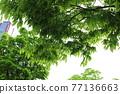 느티나무 77136663