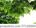느티나무 77136664