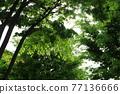 느티나무 77136666