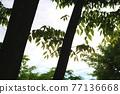 느티나무 77136668