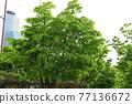 느티나무 77136672