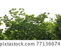 느티나무 77136674