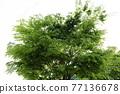 느티나무 77136678